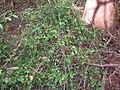Starr 041226-2314 Alyxia oliviformis.jpg