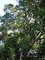 Starr 061128-1657 Syzygium cumini.jpg