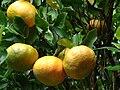 Starr 061231-3025 Citrus reticulata.jpg