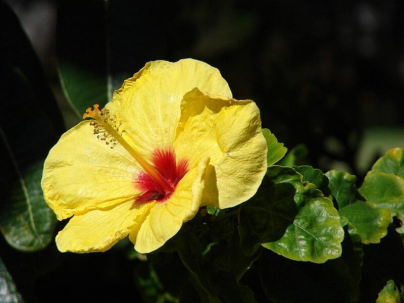 File:Starr 070111-3212 Hibiscus rosa-sinensis.jpg