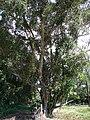 Starr 070111-3291 Syzygium cumini.jpg