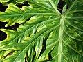Starr 070123-3647 Philodendron bipinnatifidum.jpg