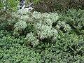 Starr 070208-4347 Artemisia australis.jpg