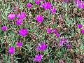 Starr 070308-5381 Lampranthus roseus.jpg