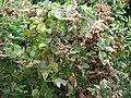 Starr 070308-5392 Montanoa hibiscifolia.jpg