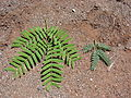 Starr 070404-6594 Prosopis juliflora.jpg