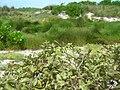 Starr 080605-9285 Solanum nelsonii.jpg