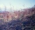 Starr 980328-0042 Hibiscus furcellatus.jpg