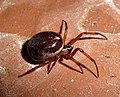 Steatoda nobilis - Flickr - gailhampshire.jpg