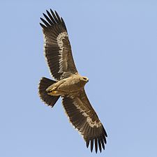 Steppe eagle (Aquila nipalensis).jpg