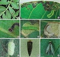 Stigmella schinivora (10.3897-zoologia.35.e24485) Figures 42–49.jpg
