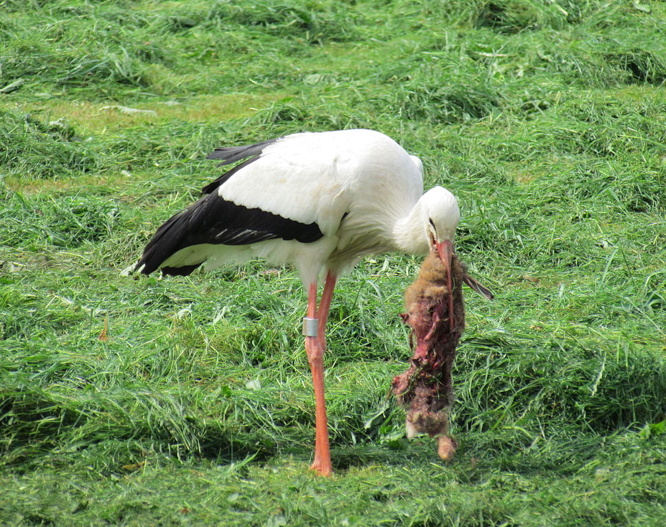 Stork picking at rabbit