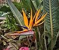 Strelitzia reginae-111425.jpg