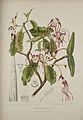 Strophanthus caudatus00b.jpg