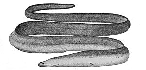 Slender giant moray - Image: Strophidonsathete