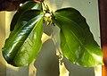 Strychnos nux-vomica flowers 01.JPG