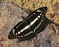 Studded sergeant butterfly.JPG