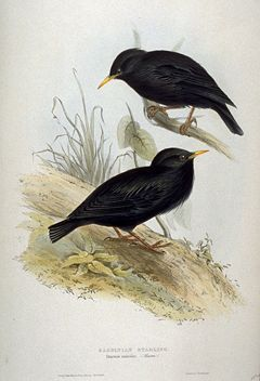 Sturnus unicolor by John Gould.jpg