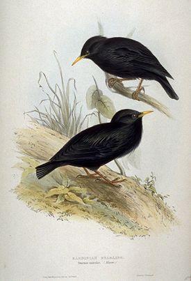 http://upload.wikimedia.org/wikipedia/commons/thumb/b/b3/Sturnus_unicolor_by_John_Gould.jpg/275px-Sturnus_unicolor_by_John_Gould.jpg