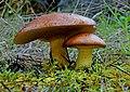 Suillus collinitus (8738101510).jpg