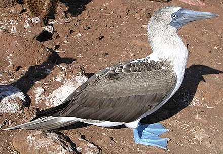 Blue-footed booby SulaNebouxi.jpg