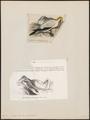 Sula serrator - 1700-1880 - Print - Iconographia Zoologica - Special Collections University of Amsterdam - UBA01 IZ18000053.tif