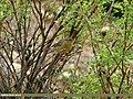 Sulphur-bellied Warbler (Phylloscopus griseolus) (20062228454).jpg