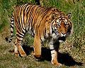 Sumatran Tiger. (9663598888).jpg
