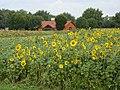 Sunflowers at Weiden West - geo.hlipp.de - 41362.jpg