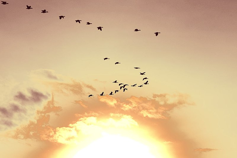 File:Sunset birds Holland.jpeg