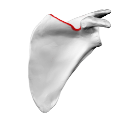 Superior border of left scapula01.png