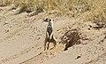 Suricate (Suricata suricata) (6531594579).jpg