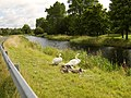 Swans and cygnets on canal bank - geograph.org.uk - 515071.jpg