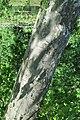 Sycamore 2020-06-11 027.jpg