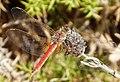 Sympetrum fonscolumbii. Red-veined Darter male (33048290896).jpg
