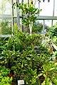 Synsepalum dulcificum (Pouteria dulcifica) - Gora Park - Hakone, Kanagawa, Japan - DSC08573.jpg