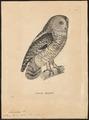 Syrnium hylophilum - 1700-1880 - Print - Iconographia Zoologica - Special Collections University of Amsterdam - UBA01 IZ18400161.tif