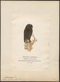 Syrnium uralense - 1870-1871 - Print - Iconographia Zoologica - Special Collections University of Amsterdam - UBA01 IZ18400167.tif