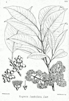Syzygium cumini, Illustration