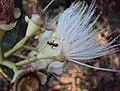 Syzygium mundagam 14.JPG