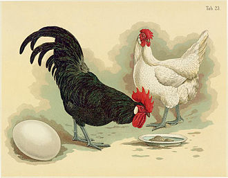 Minorca chicken - Black Minorca cock and white Minorca hen, illustration from the Geflügel-Album of Jean Bungartz, 1885