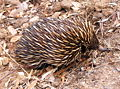 Tachyglossus aculeatus - Anstey Hill - profile.JPG