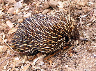 Anstey Hill Recreation Park - A short-beaked echidna (Tachyglossus aculeatus) foraging