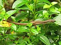 Takydromus sexlineatus (43793306475).jpg