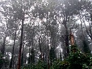 Tall trees on the way to Seetargundu Viewpoint near Nelliampathi in Kerala