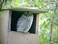 Tawny Owls (5) (8403003812).jpg