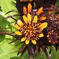 Tephroseris takedana s3 - cropped.jpg
