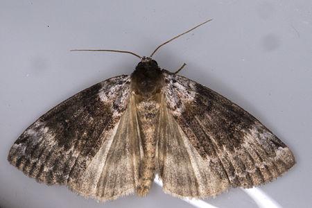 Tetheella fluctuosa01, Lodz(Poland)01(js).jpg