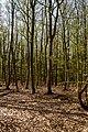 Texel - De Dennen - Budding Beeches - View WNW.jpg