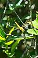 Thailand Riku Show Zhou Dragonfly (27975151162).jpg